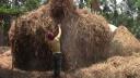 আসছে বন্যা, গাইবান্ধায় গো-খাদ্য সংরক্ষণে ব্যস্ত পশু পালনকারীরা