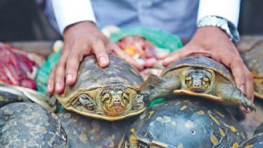 বাগেরহাটে বিলুপ্ত প্রায় ৭৩টি কচ্ছপসহ ব্যবসায়ী আটক