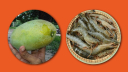 ভৌগলিক নির্দেশক স্বীকৃতি পাচ্ছে ফজলি আম ও বাগদা চিংড়ি